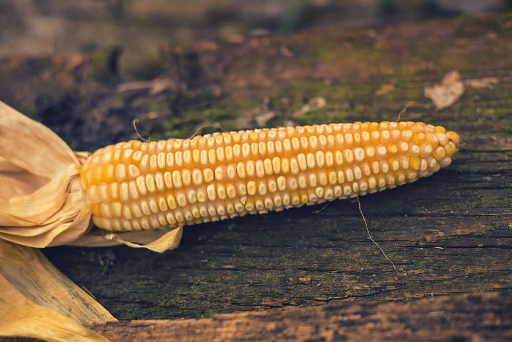 dried ear of corn laying on wood with husk pulled back